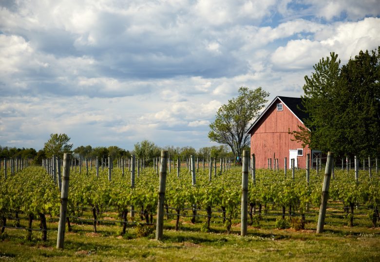 Vineyard field with a red barn